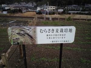 本陣ひろば むらさき麦栽培地