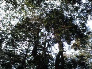 関山神社 奥の宮 ご神木