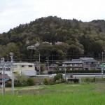 今日のむらさき麦と関山神社の桜
