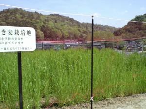 今日のむらさき麦 2015-04-18