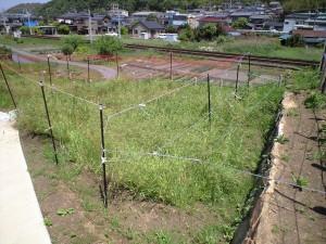 今日のむらさき麦 2015-05-05