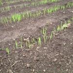 むらさき麦の芽