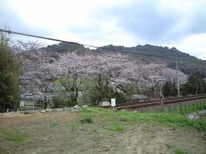 藤川 名鉄沿線沿いの桜