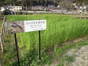 今日のむらさき麦 2016-04-06