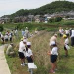 藤川小学校生徒による本陣跡のむらさき麦収穫