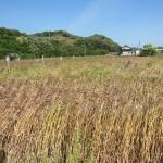 むらさき麦オーナー制度募集要項(平成28年度)