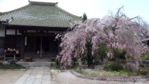 明星院の本堂と八重桜
