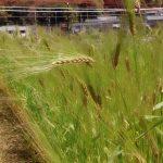 むらさき麦の生育日記
