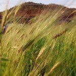 むらさき麦の生育日記 05-01~05/05