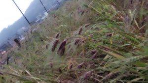 むらさき麦まつり当日のむらさき麦